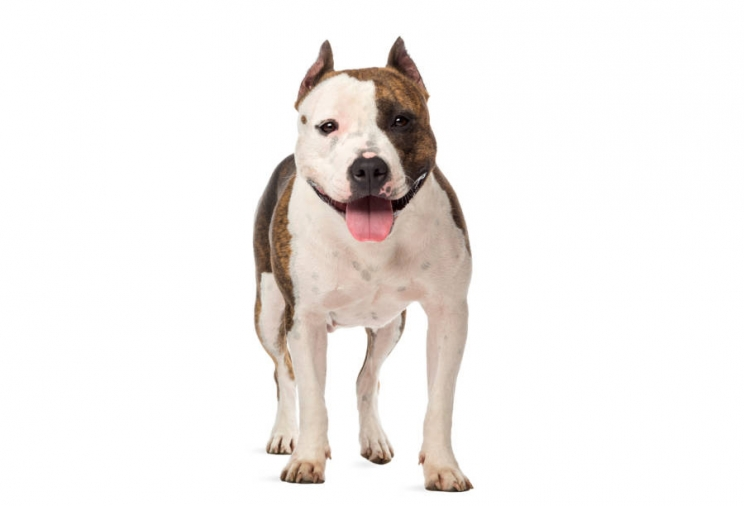 immagine American staffordshire terrier
