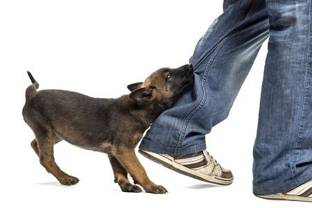 Cosa Fare Se Il Cane Morde Mani Piedi E Oggetti Comportamento
